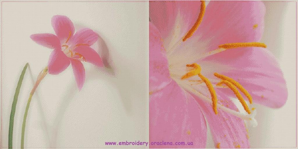 Лилейник 35 цветов